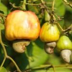 Ph/DR-: Le Sénégal est le 15ème producteur mondial de l'anacarde