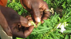 Wasix, un outil qui entend révolutionner les pratiques sur les semences dans l'espace Cedeao.