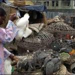 Ph/DR-: La grippe aviaire rôde toujours autour de l'enclos, les éleveurs béninois doivent maintenir la veille.