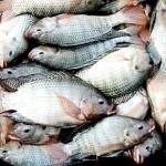 Ph:DR- Le Nigéria dépense 700 millions $ dans les importations de poissons chaque année