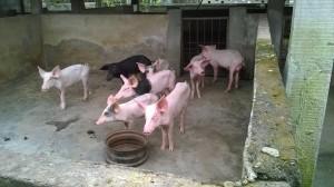 Des porcs mâles du Vieux Agondohoui élevés à part pour des expériences