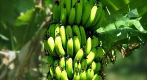 Ph: DR-: La banane est l'un des premiers fruits à avoir fait l'objet d'un commerce à l'échelle mondiale