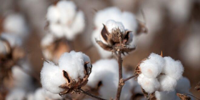 Campagne cotonnière 2021-2022/ Fixation des prix: Coton graine 1er choix 265 Fcfa/kg et Engrais 12.000 Ffca le sac de 50 kg